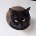 キャットタワーのボックスから頭だけ出す黒猫