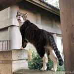 【文京区】ガンを飛ばす「白山神社」の猫さん