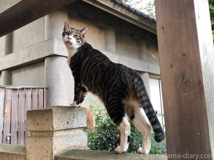 ガンつけるキジトラ白猫さん