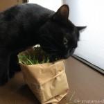 出窓で猫草を食べる黒猫