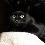 「ペットの夢こたつ」に入り浸る猫