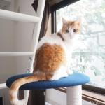 「KARIMOKU CAT TREE」から窓の外を見る猫