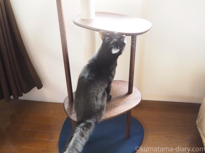 KARIMOKU CAT TREEに乗るふみお