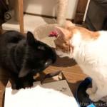 鼻と鼻をくっつける猫たち