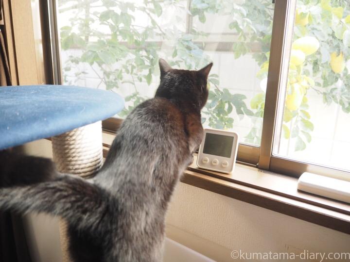 KARIMOKU CAT TREEから外を見るふみお