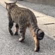 相島のキジトラ猫さんにゃんたま