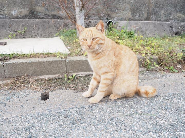 相島の茶トラ猫さん