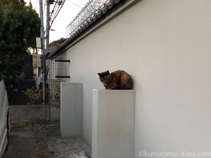 控え壁に乗るサビ猫さん