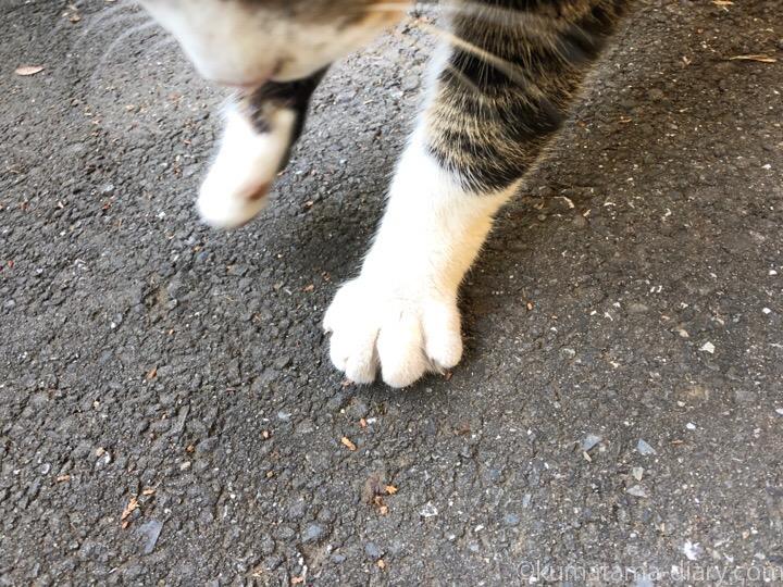 キジトラ白猫さん前足