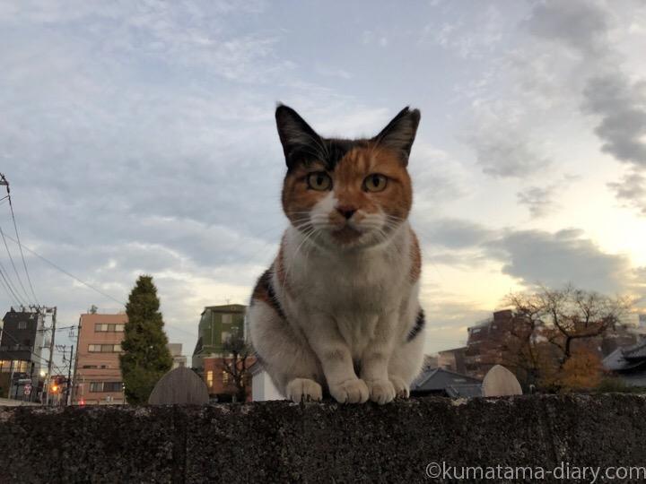 塀の上の三毛猫さん