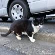 黒白猫さん舌出し