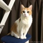 「KARIMOKU CAT TREE」に自ら乗った猫