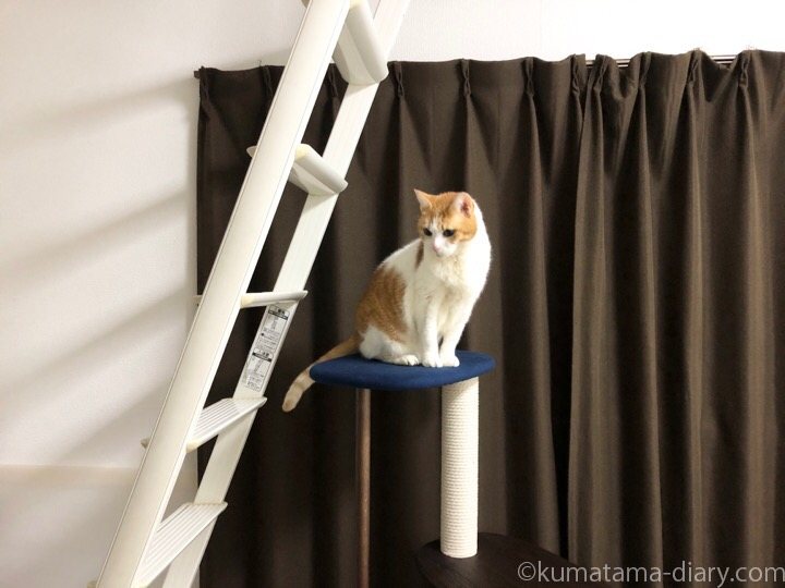 KARIMOKU CAT TREEに乗るたまき