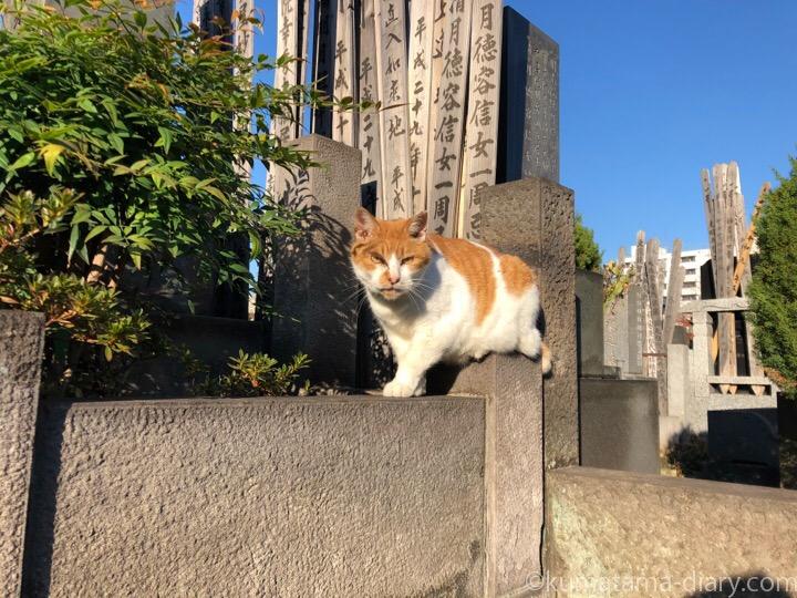 吉祥寺茶トラ白猫さん
