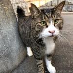 坂道で出会った体の大きなキジトラ白猫さん