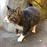 前足をくいっくいっと曲げながら歩くキジトラ白猫さん