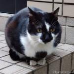 【谷中】顔にウサギがいるように見える黒白猫さん