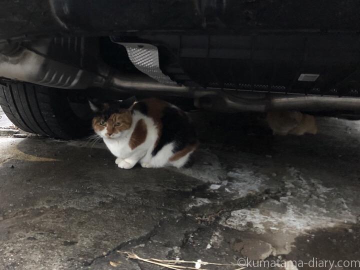 車の下の三毛猫さんと茶トラ猫さん