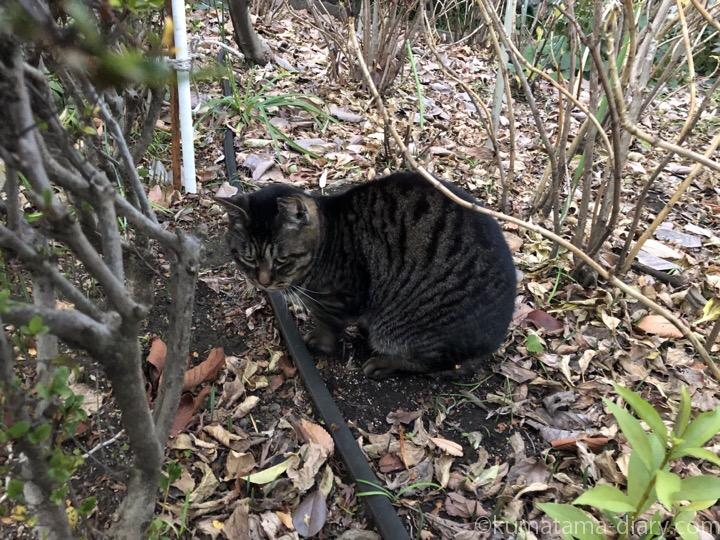 白山神社のキジトラ猫さん