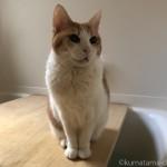 お風呂のフタの上で鳴く猫