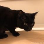 久しぶりに風呂場にやってきた黒猫