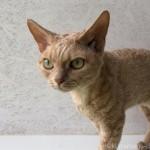 【本郷三丁目】デボンレックスと触れ合える猫カフェ「100% Neko」