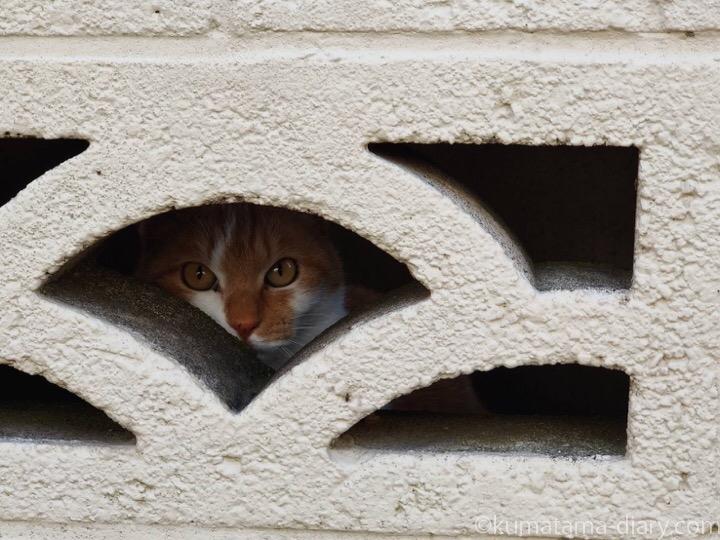 ブロック塀と茶トラ白猫さん