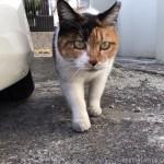 【文京区】下向きの顔も可愛い三毛猫さん