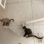 ドイツ製の猫用家具「Goldtatze ゴールドタッツェ」で遊ぶ「100% Neko」の猫さんたち