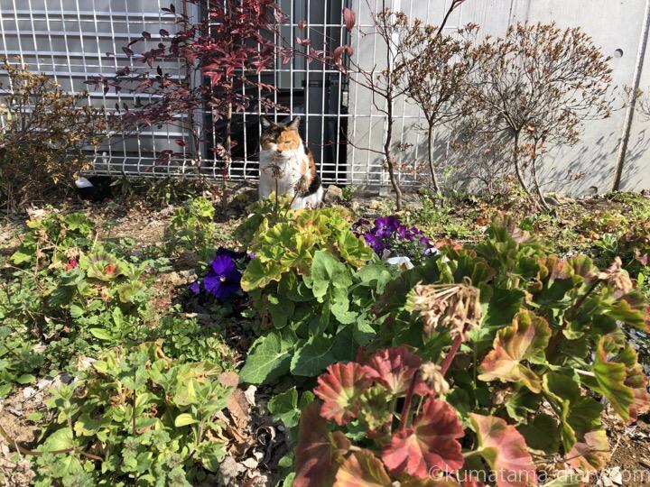 花壇の三毛猫さん