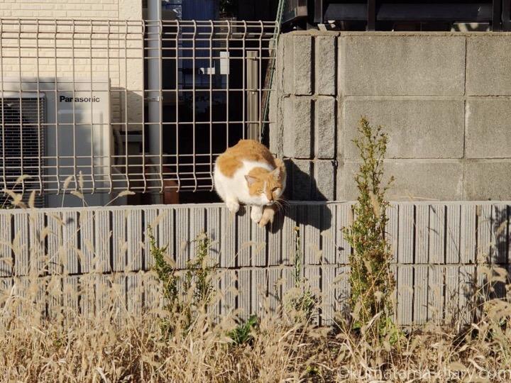 売地の茶トラ白猫さん