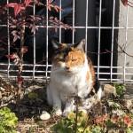 【文京区】花壇でひなたぼっこする三毛猫さん