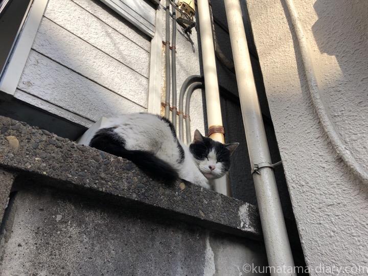 塀の上の白黒猫さん