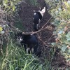 茶畑の黒白猫さんたち