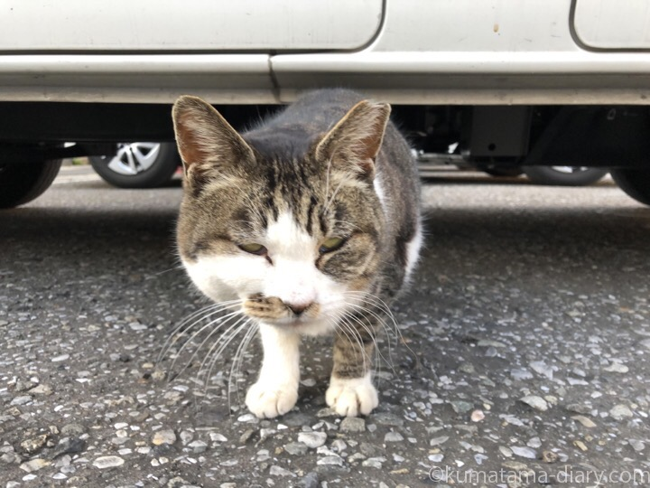 車の下から出てきたキジトラ白猫さん