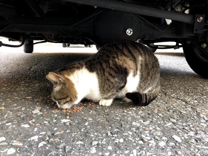 車の下でエサを食べるキジトラ白猫さん