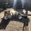 墓地の三毛猫さん