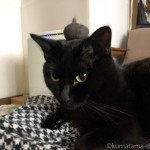 グレーの毛玉を頭に乗せる黒猫