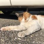 【文京区】車の下でひなたぼっこする三毛猫さん