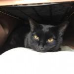 「ペットの夢こたつ」に引きこもる黒猫