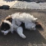 【文京区】吉祥寺の長毛猫さんがごろんとなりました
