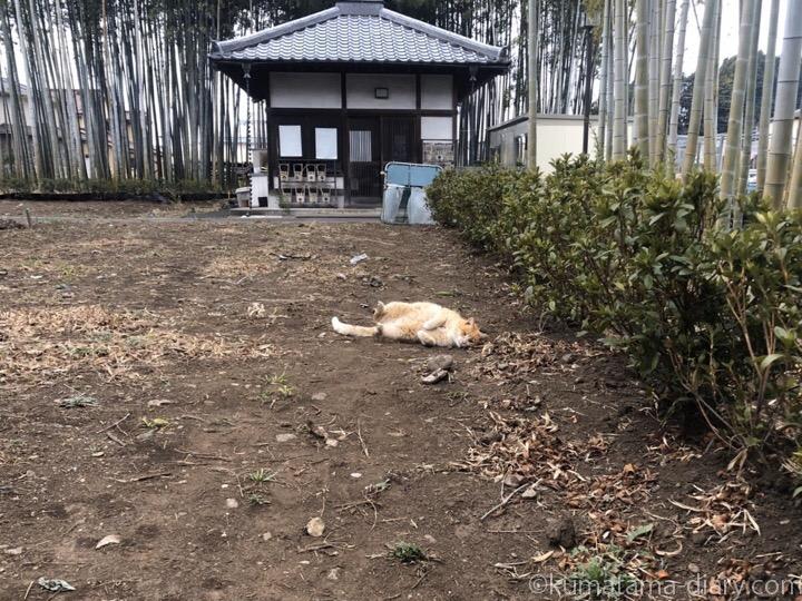 寝転がる茶トラ猫さん
