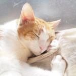 自分の前足を枕にして眠る猫