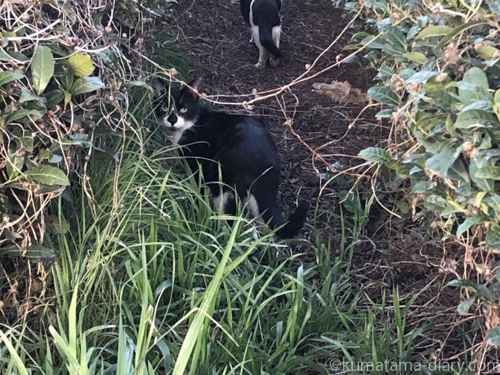 茶畑の黒白猫さん