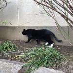 歩く黒猫さんと黒白猫さん