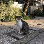 短く可愛い声で鳴くキジトラ白猫さん