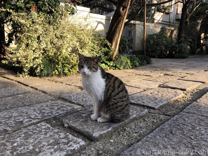 お寺のキジトラ白猫さん
