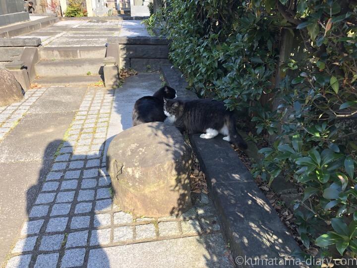 長毛のキジトラ白猫さんと黒白猫さん