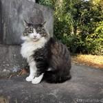【文京区】吉祥寺の体が大きな長毛猫さん