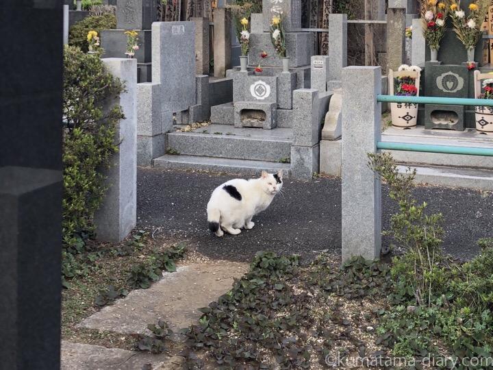 墓地の白黒猫さん